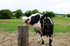 Holstein Cow Sniffing a Wine Glass of Milk royalty free stock photography