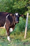 Holstein Cow Standing in Pasture Looking at Camera royalty free stock photo