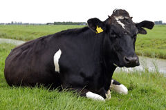 Holstein cow watching Stock Images