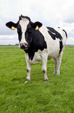 Holstein cow watching Royalty Free Stock Images
