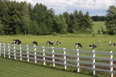 Holstein cows Royalty Free Stock Photography