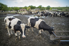 Holstein cows in farm Royalty Free Stock Photo
