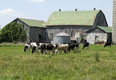 Holstein cows grazing Stock Image