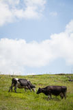 Holstein cows grazing Royalty Free Stock Photos