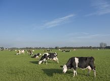 Holstein cows in green meadow of dutch landsape Stock Photos