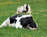 Holstein cows having rest Stock Photo