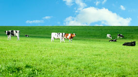 Holstein cows in a lush pasture. Small herd of black and white Holstein Friesian cows grazing in a lush pasture under a blue summer sky Royalty Free Stock Image