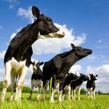 Holstein cows. On the meadow Stock Photo