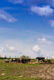 Holstein cows in the pasture Royalty Free Stock Photo