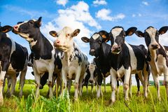 Holstein cows in the pasture stock photography