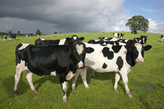 Holstein cows stock image