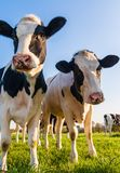 Holstein cows portrait stock images