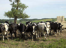 Holstein cows Stock Images