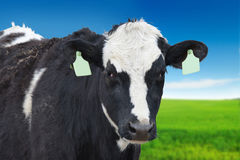 Holstein dairy cow  closeup Stock Image
