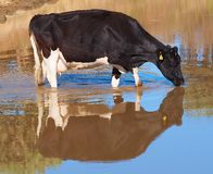 Holstein Dairy Cow enjoying a drink Stock Images