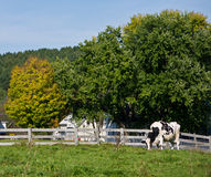 Holstein dairy cow in pasture stock images