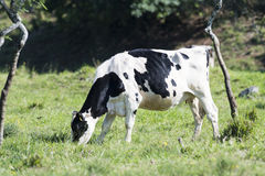 Holstein Dairy Cow Stock Images