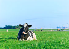 Holstein dairy cow resting on grass Stock Images