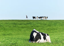 Holstein dairy cow resting on grass Royalty Free Stock Photography