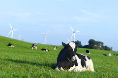 Holstein dairy cow resting on grass Stock Photos