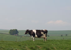 Holstein Dairy Cow in Upland Meadow. Holstein dairy cow grazing in upland pasture royalty free stock photography