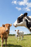 Holstein dairy cows with a Limousin beef cow in a pasture, head Stock Photo
