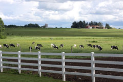 Holstein dairy farm. Holstein dairy herd in a pasture on a farm Stock Image