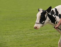 Free Holstein Dairy Farm Cow. Royalty Free Stock Images - 143148779