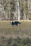 Holstein Fresian krowa Fotografia Stock