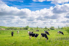 Holstein-Frieser cows on a field Stock Photos