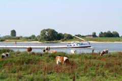 Holstein-Friesian οι αγελάδες βόσκουν κατά μήκος του ποταμού Waal Στοκ Φωτογραφία