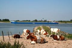 Holstein-Friesian οι αγελάδες βόσκουν κατά μήκος του ποταμού Waal Στοκ εικόνες με δικαίωμα ελεύθερης χρήσης