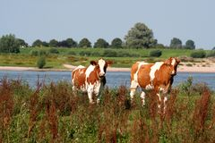 Holstein-Friesian οι αγελάδες βόσκουν κατά μήκος του ποταμού Waal Στοκ Εικόνες