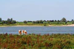Holstein-Friesian οι αγελάδες βόσκουν κατά μήκος του ποταμού Waal Στοκ Εικόνα