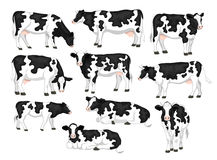 Holstein friesian black and white patched coat breed cattles set. Royalty Free Stock Photography