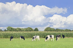 Holstein-Friesian cattle in a green Dutch meadow,. Corn field, blue sky and clouds royalty free stock photos