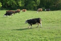 Holstein Friesian cattle. Hereford heifers Stock Photo