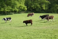 Holstein Friesian cattle. Hereford heifers Royalty Free Stock Photo