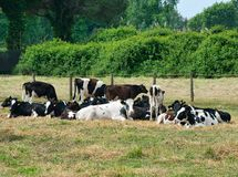 Holstein Friesian herd in field with calf Stock Photo