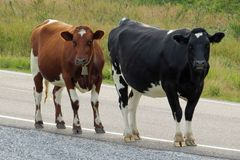 A black white Holstein Friesian and a brown white cow standing at the roadside of a country road and looking at the photographer