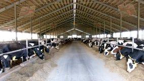 Holstein-Frisiantagebuchkühe im freien Viehbestandstall stock footage