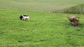 Holstein fryzyjczyków cattles w paśniku zbiory wideo