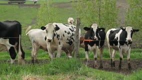 Holstein fryzyjczyków cattles w paśniku zdjęcie wideo