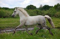 Holstein gray horse runs Royalty Free Stock Image
