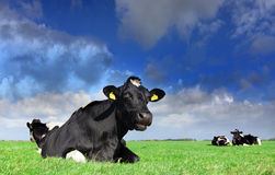 Holstein heaven. Beautiful meadow with a resting holstein cow from up close Royalty Free Stock Images