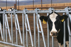 Holstein Heifer. Holstein Heirfer at a dairy farm Stock Image