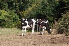 Holstein heifers in a field in Brittany