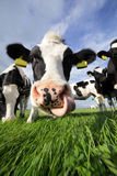 Holstein humor. Holstein cow close-up, licking its nose with its tongue Stock Photo