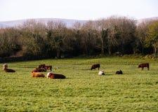 Holstein-Kühe an einer Weide in Schottland Stockfotografie