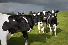 Holstein-Kühe in Wales Stockfotos
